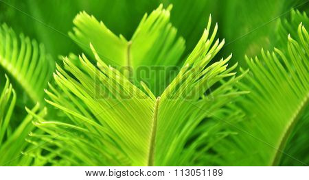 Green Palm Leafs