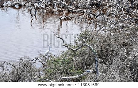 White Heron: Lake Coogee, Western Australia