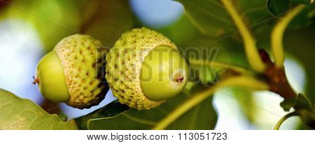 Foliage And Acorns