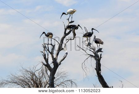 Australian White Ibis: King of the Tree