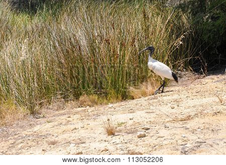 Australian White Ibis by Wetland Grasses