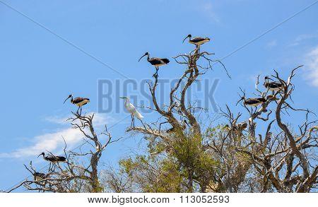 Lone White Heron: Flock of Ibises