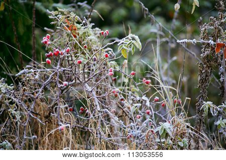 Dogrose Berries. Morning Frost. Autumn Hoarfrost On The Grass. Frost On Bushes. Autumn Foliage. Gold
