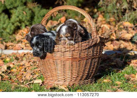 English Cocker Spaniel Puppy In Basket