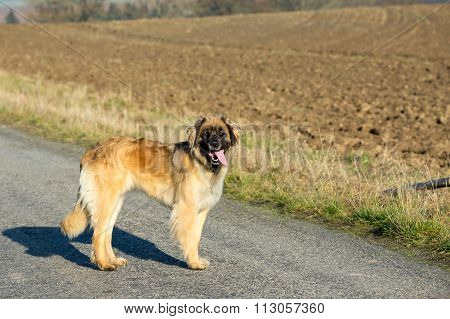 Purebred Leonberger Dog Outdoors