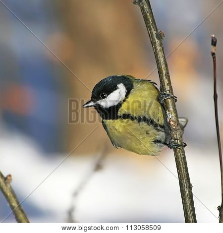 Bird Great Tit (parus Major)