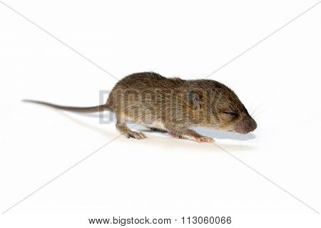 Cute baby rats isolate on white background