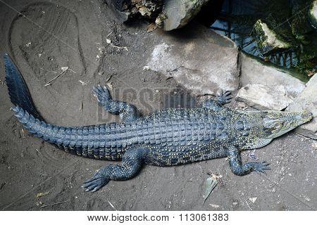 The Sleeping Crocodile