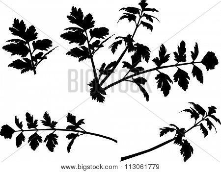 black celery isolated on white background