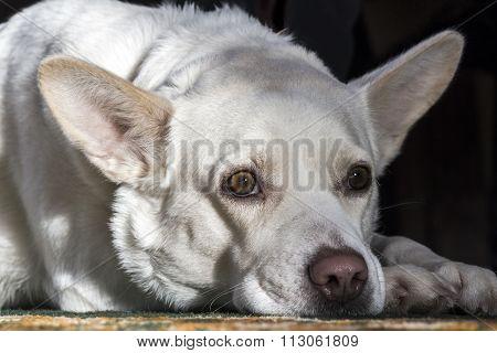 White Dog Tired