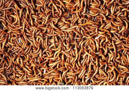 Many  Larvae