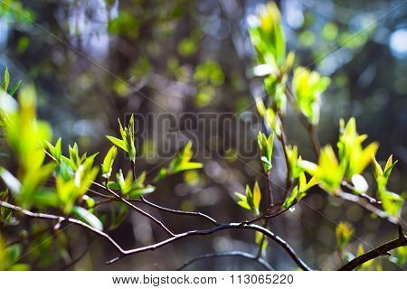 Branch With Early Leaves On A Light Background Forest