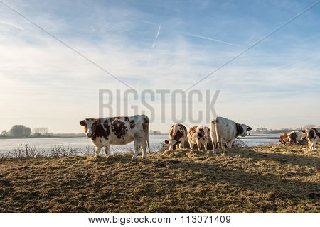 Red Holstein Cows At The Riverside
