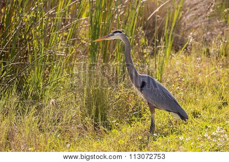 Great Blue Heron at the Edge of a Marsh