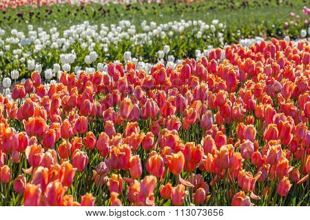 Colorful Tulip In Tulip Farm