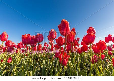 Close Up Red Tulips In Tulip Field