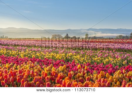 Colorful Tulip Filed In The Morning, Woodburn, Oregon