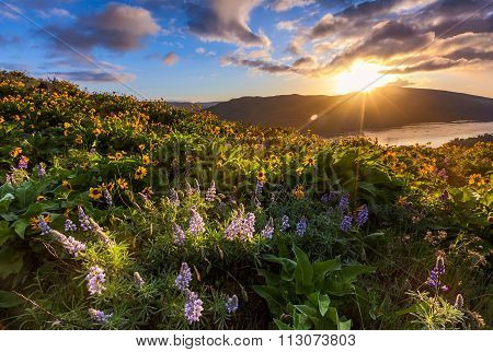 Beautiful Sunrise And Wildflowers At Rowena Crest Viewpoint, Oregon