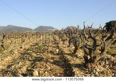 Vineyards In Drome Provencal In France