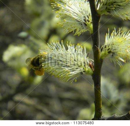 Flowers of willow and bee