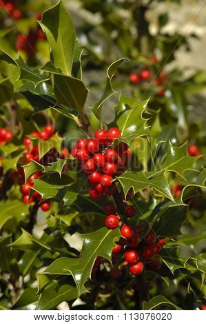 Common Or European Holly