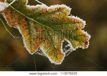 Frosted Pedunculate Oak Leaf