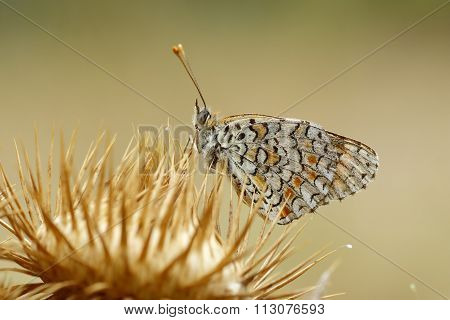 Melitaea Phoebe Perched On A Thistle