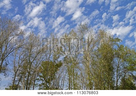 Trees Against The Sky.