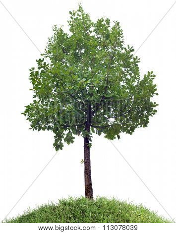 Isolated Oak Tree on the Grassy Hill