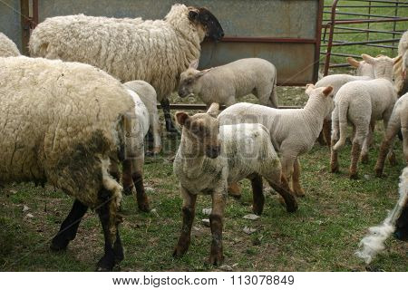 Ewes and lambs in pen