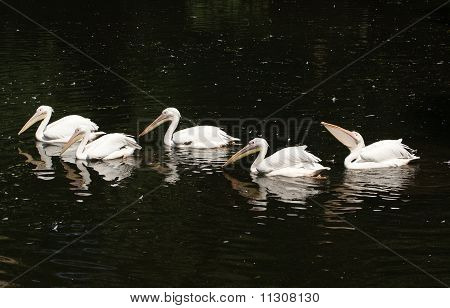 Big White Pelican