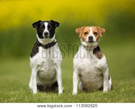 Two Danish Swedish Farm Dogs Outdoors In Nature