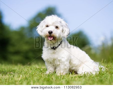Happy And Smiling Bichon Havanese Dog