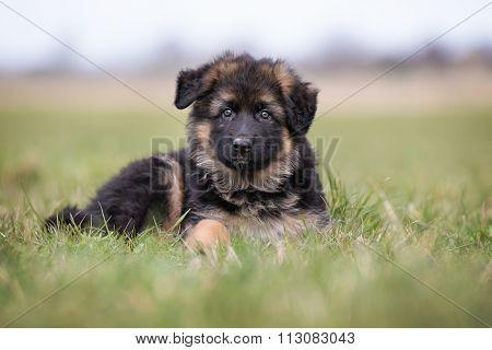 German Shepherd Puppy Lying Down
