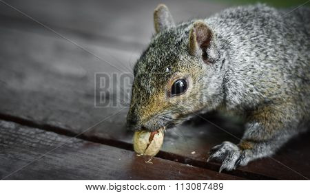 Hungry squirrel tries to dislodge a stuck peanut.