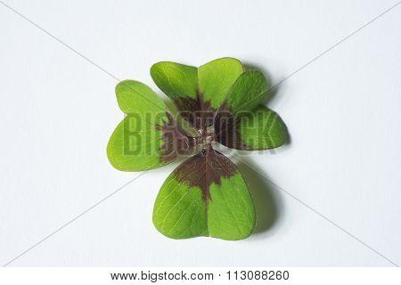 4 Leaf Cloverleaf As Concept Of Luck