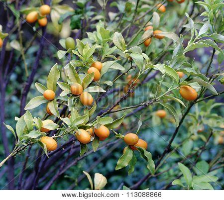Plant Of Kumquat