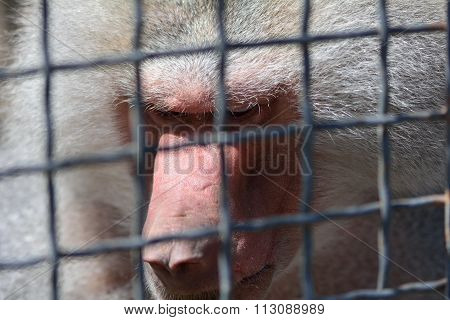 Caged male baboon avoiding eye contact