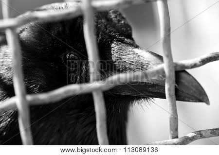 Carrion crow (Corvus corone) in a cage