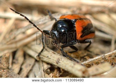 Cryptocephalus bipunctatus beetle amongst undergrowth
