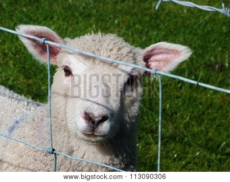 cute lamb behind barbed wire fence