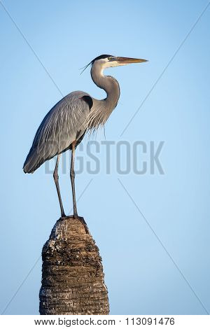 Great Blue Heron (ardea Herodias) Perched On  Top Of A Palm Tree Stump - Viera Wetlands, Florida