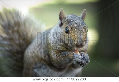 Hungry squirrel comes around to get free peanuts.