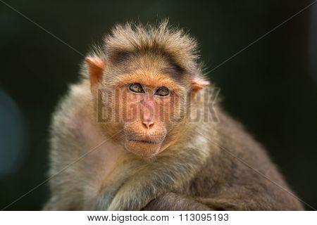 Bonnet Macaque.