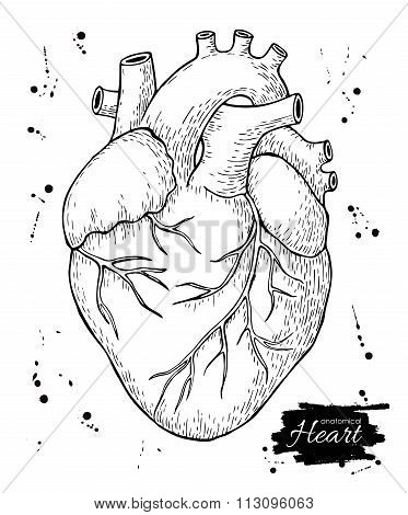Anatomical Human Heart. Engraved Detailed Illustration.