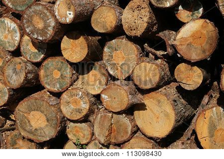 Stacked Tree Wood Logs At A Pine Forest