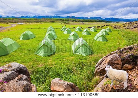 Icelandic white sheep grazing next to a summer campground.  Summer holidays in Iceland