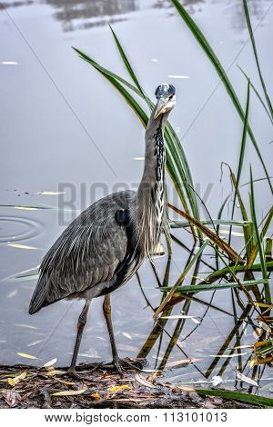 Grey Heron Stays At Lakeshore