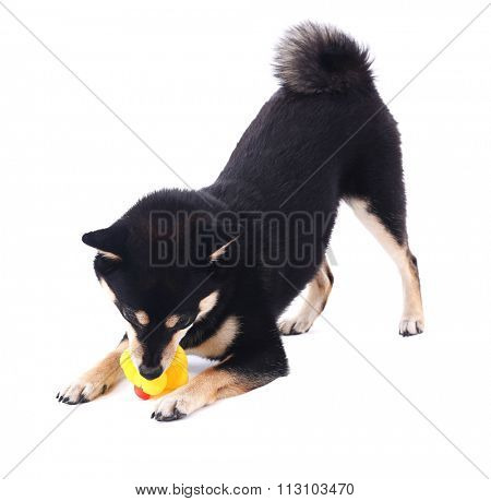 Siba inu playing with toy duck isolated on white