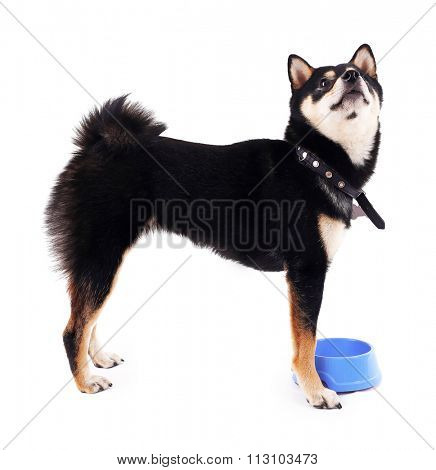 Siba inu dog with a blue bowl isolated on white
